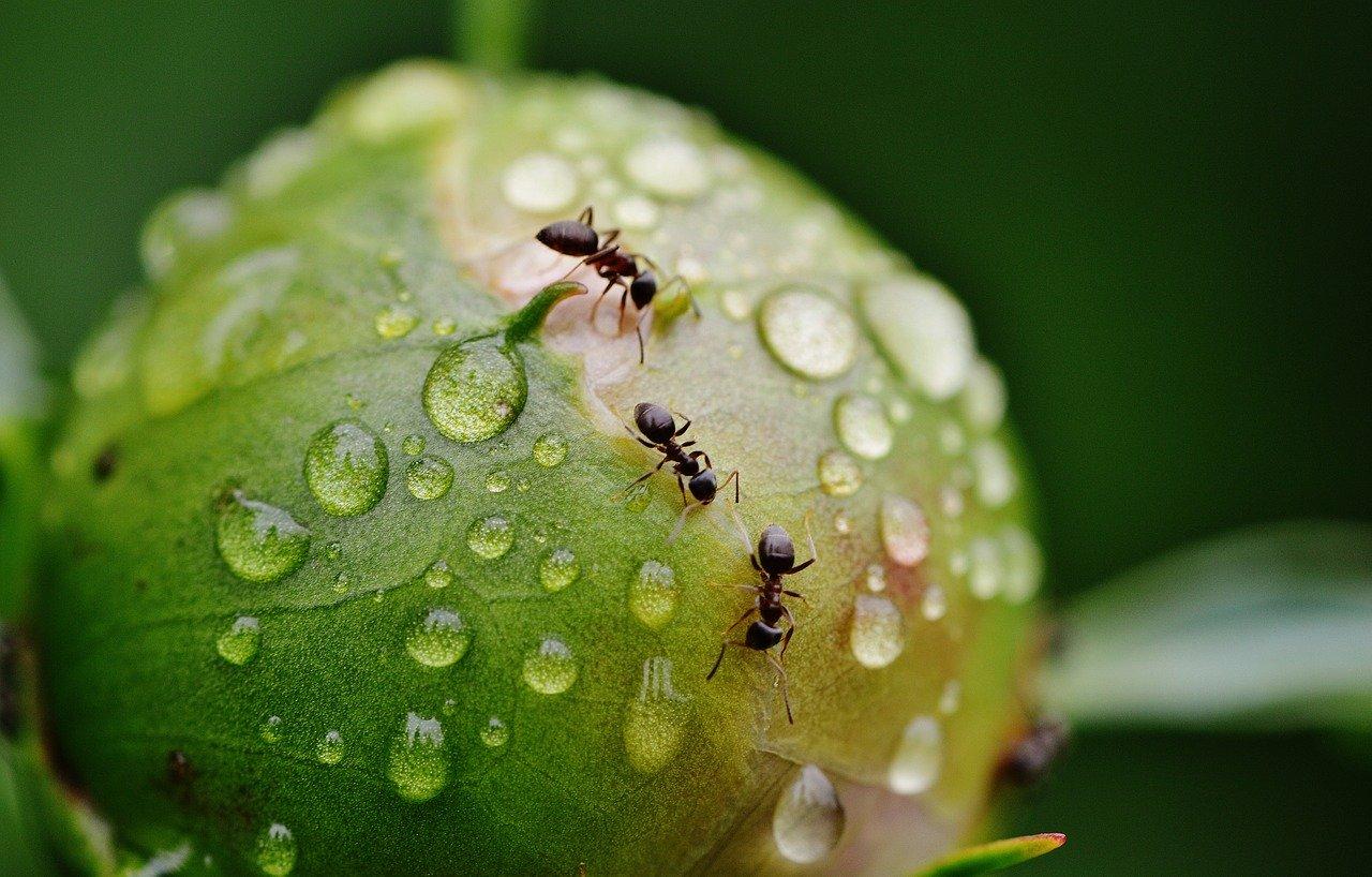 Faire Fuir Les Fourmis comment se débarrasser des fourmis dans son jardin ?